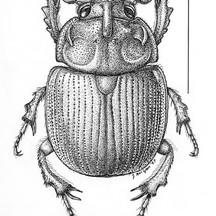 Bolboceras thoracicornis