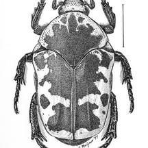 Paragymnetis flavomarginata