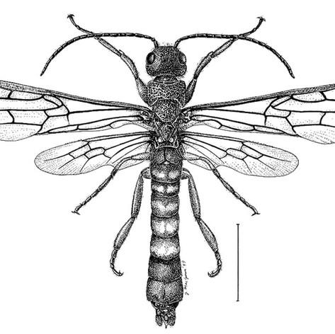 Eriotremex formosanus male
