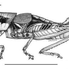 Melanoplus. stegocercus