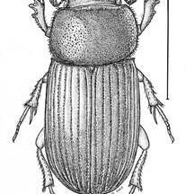 Ataenius oaxacaensis
