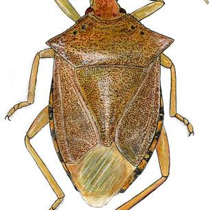 brown stinkbug