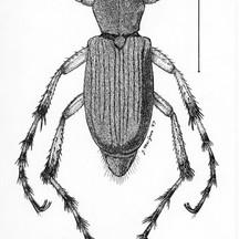 Macrodactylus angustatus