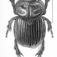 Eucanthus subtropicus