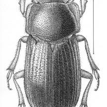 Euparia castanea