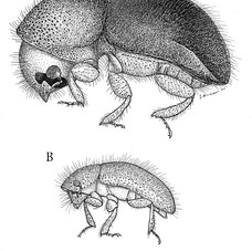 Xylosandrus crassiusculus
