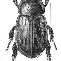 Dyscinetus morator