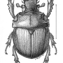 Bradycinetulus ferrugineus
