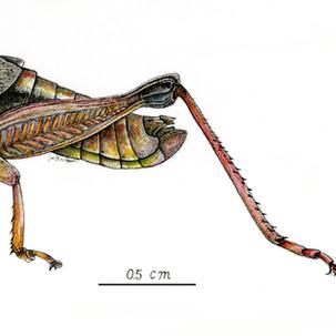 Melanoplus lindemanni