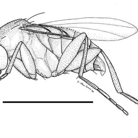 Apocephalus tenuipes
