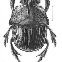 Phaneus triangularis