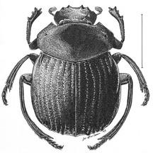 Deltochilum g. gibbosum