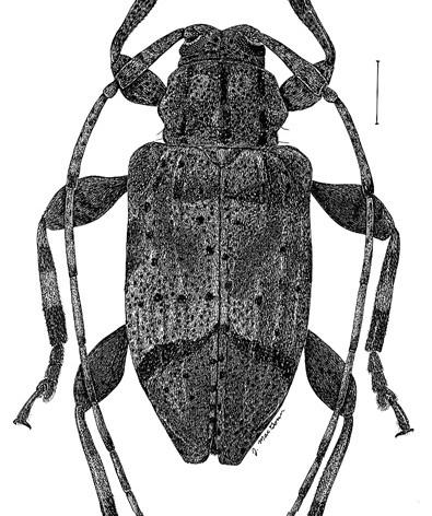 Astylopsis fascipennis