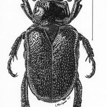 Cremastocheilus harrisii