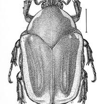 Cotinus nitida