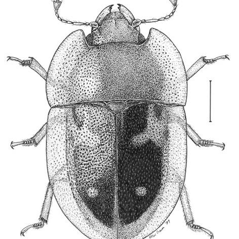 Prometopia sexmaculata