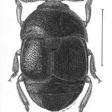 Colopterus niger
