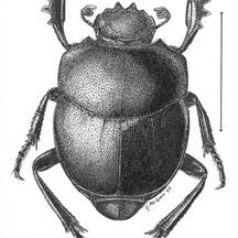 Melanocanthon bispinatus