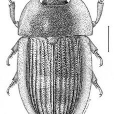 Amphotis schwarzi