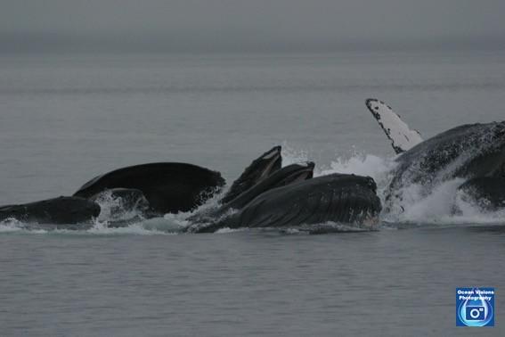 Feeding Humpback Whales, Alaska