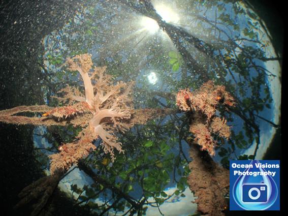 Mangrove Beauty, Raja Ampat Indonesia