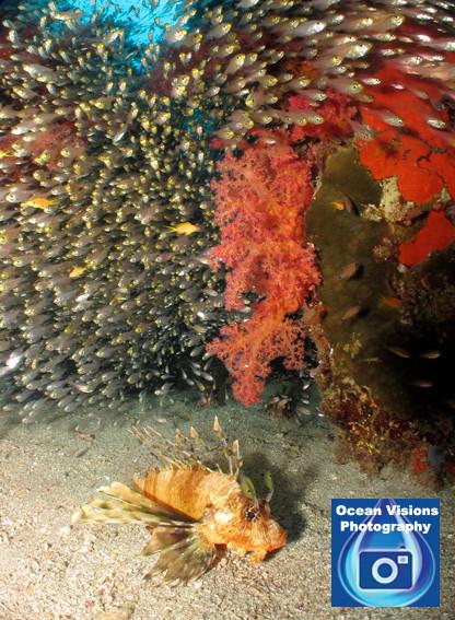 Lionfish Reef Scene, Egypt