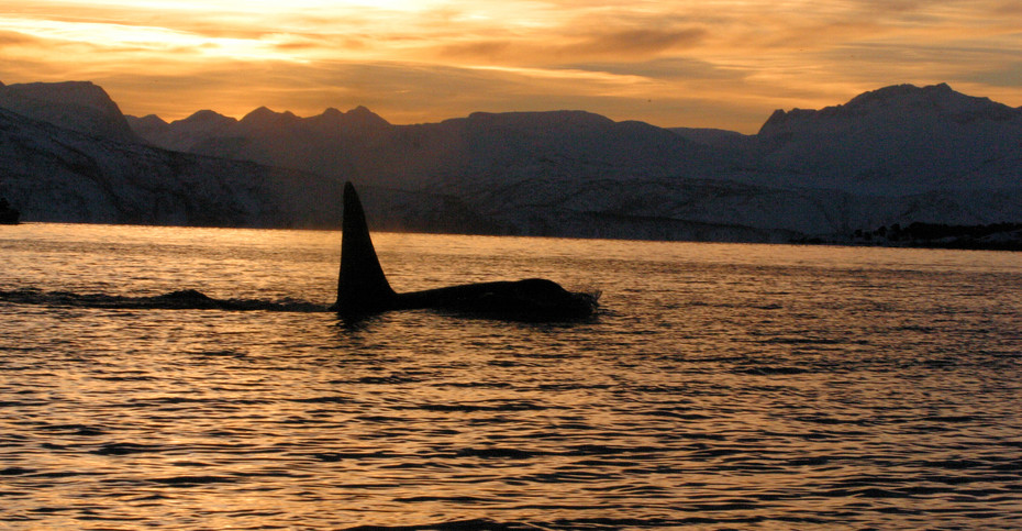 Orca in the Midday Sun, Norway