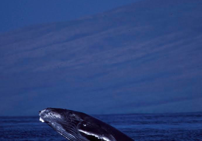 Juvenile Humpback Whale, Kingdom of Tonga