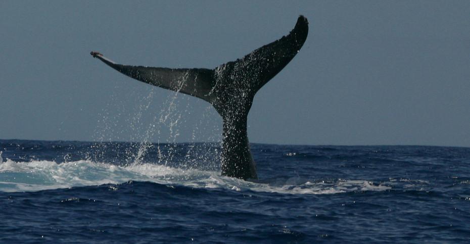 Humpback Whale Fluke, Hawaii