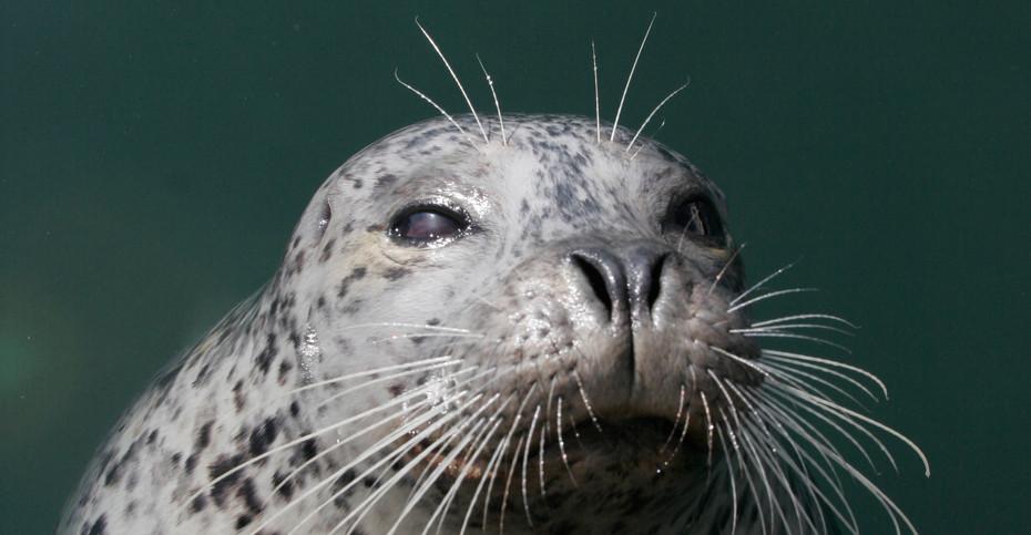 Harbour Seal, Monterey, California