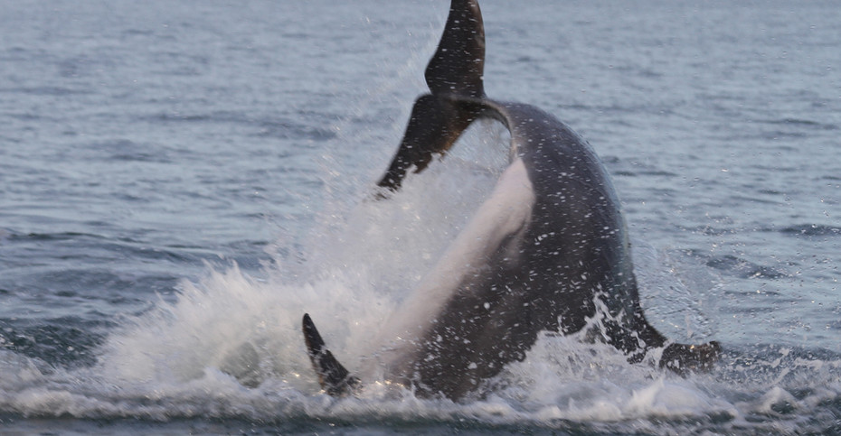 Transient Bottlenose Dolphin, Caridigan Bay, Wales