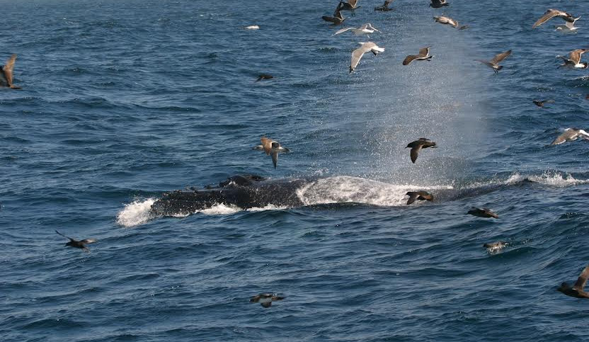 Humpback Whale Feeding, Monterey, California