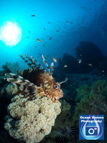 Lionfish at Dawn, Egypt