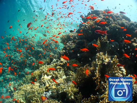 Red Sea Reef Scene