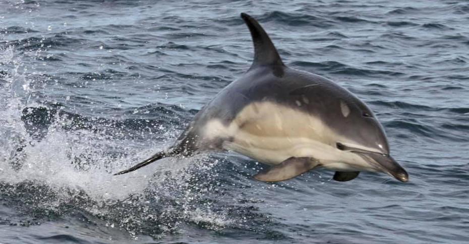 Common Dolphin, Mull, Scotland