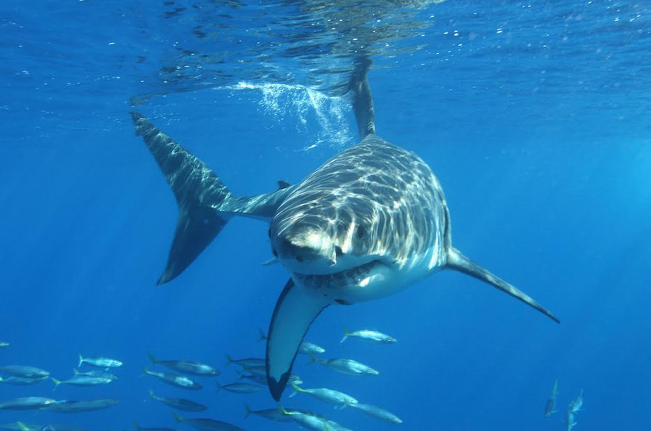 White Shark, Guadelupe Island, Mexico