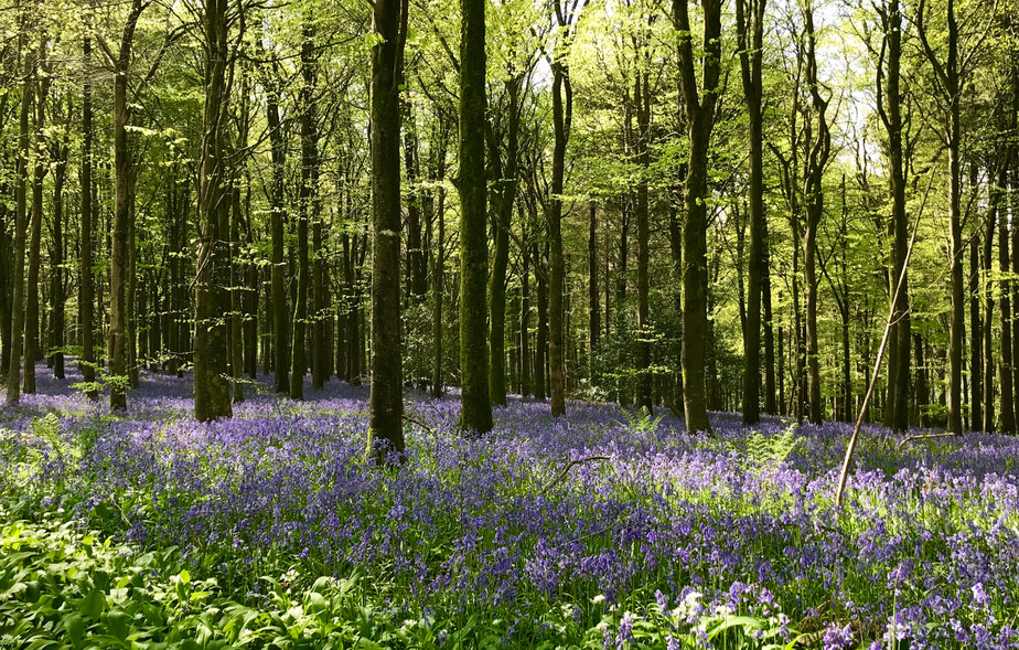 Bluebell and Garlic Woods