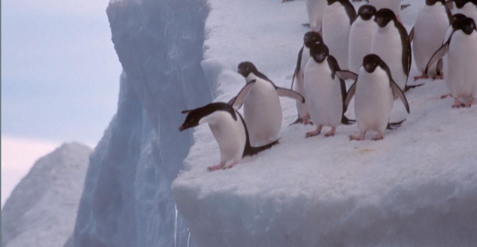 """""""Do I or Don't I"""" Adelie Penguins, Antartica"""
