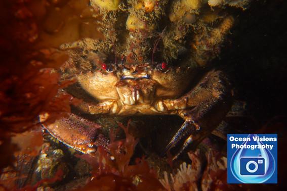 Red Eyed Velvet Crab