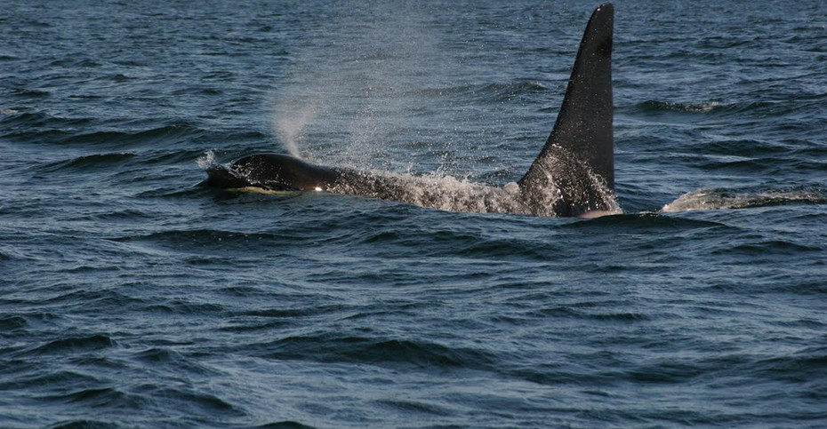 Transient  Orca, Alaska