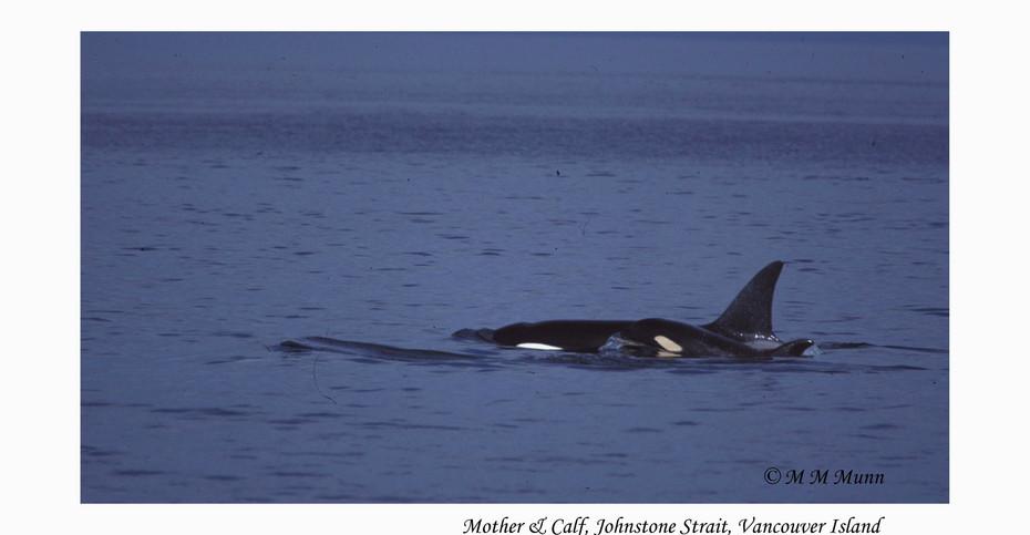 Mother & Calf Orca, Johnstone Strait, Vancouver, Canada