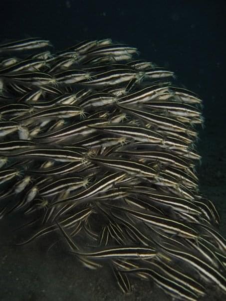Schooling Catfish, Lembeh Straits, Indonesia