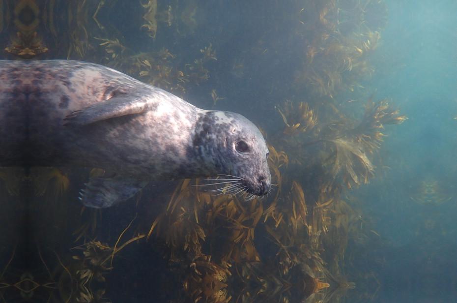 Atlantic Grey Seal at Lundy Island