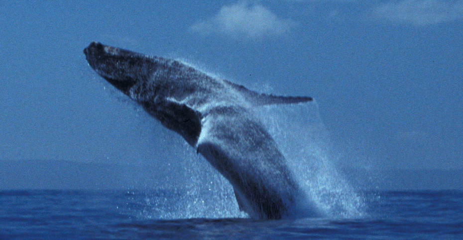 Breaching Humpback Whale, Mexico