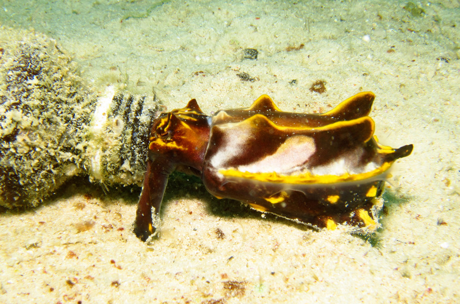 FeedingFlambuoyant Cuttlefish