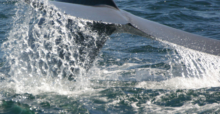 Blue Whale Fluke, Monterey Bay, California