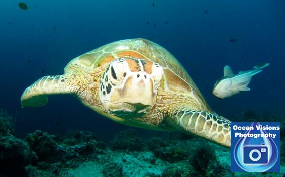Green Turtle and Remora, Malaysia
