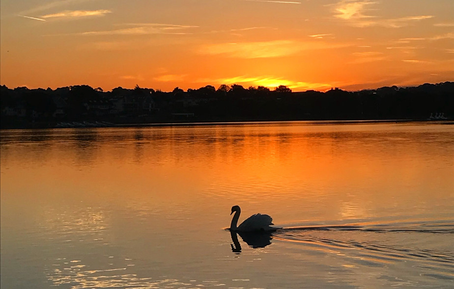 Swan Silhouette at Poole Park