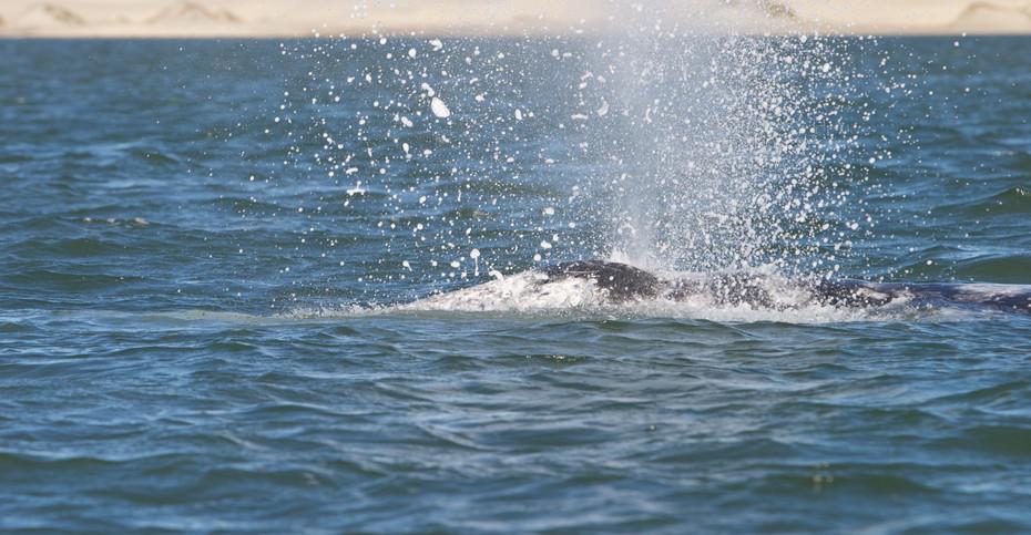 Grey Whale, Baja California, Mexico