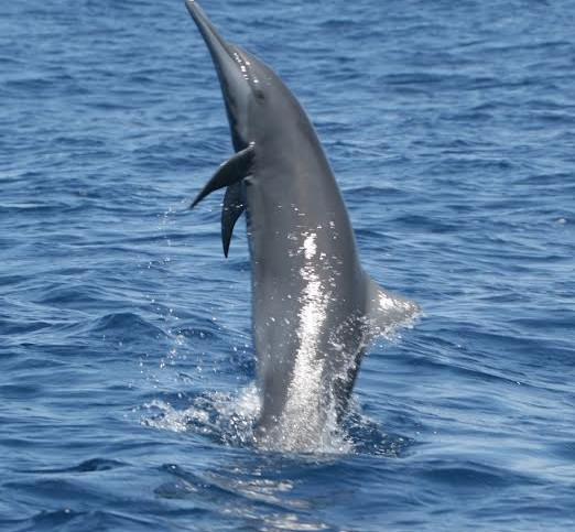 Spinner Dolphin, Costa Rica